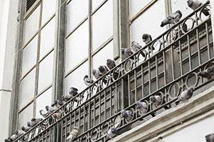 Control de aves, limpieza de palomas